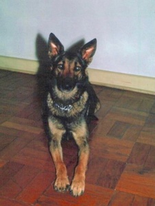 Our German Shepherd Diana 1964
